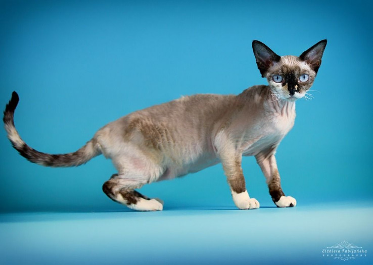 1-kitten-for-sale-ready-end-of-march-5e656d71cde32